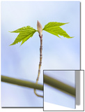 Sugar Maple Leaf Bud Opening Posters by John Churchman