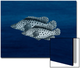 Two Grouper Swim the Seas Prints by Rich LaPenna