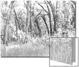Oak Trees, Santa Rosa, California Posters by Diane Miller