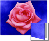 Pink Rose on Blue Background Prints by Rich LaPenna