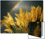 Pampas Grass and Rainbow, Sedona, Arizona, USA Poster by Margaret L. Jackson
