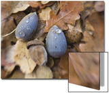 Blue Acorns on Pile of Leaves Posters by Diane Miller
