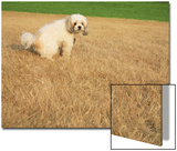 Poodle Urinating on Dead Grass Prints by Steve Cicero