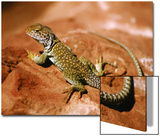 Collared Lizard (Crotaphytus Collaris), Sedona, Arizona, USA Posters by Margaret L. Jackson