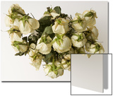 Dead, Drooping White Roses Prints by Daniel Root