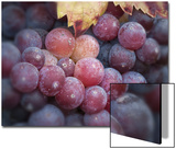 Close-Up of Zinfandel Wine Grapes Posters by Diane Miller