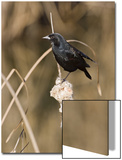 Red Winged Blackbird Prints by Diane Miller