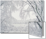 Image of Snow Covered Trees Print by Rob Lang