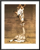 Giraffe, First Kiss Prints by Ron D'Raine