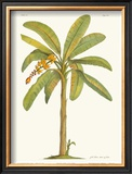 Banana Plant Art by Georg Dionysius Ehret