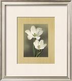Tulipani Prints by Andrea Trivelli