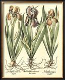Bulb Garden II Posters by Besler Basilius