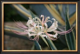 Pink Cluster Amaryllis, Manjushaka Prints by Ryuji Adachi