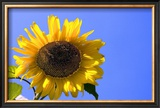 Sunflower Splendor Framed Giclee Print by Stephen Lebovits
