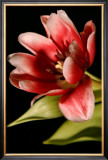 Red Tulip III Prints by Renee Stramel