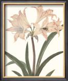 Amaryllis Print by Peter Brown