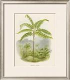 Tree Fern (Hemitelia Lindeni) Framed Giclee Print by Georg Dionysius Ehret