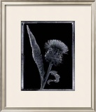 Thistle Prints by Augusto Camino
