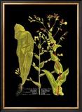 Weinmann Botanical on Black VIII Posters by Johann Wilhelm Weinmann
