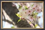 Japanese Cherry Blossom, Sakura I Poster by Ryuji Adachi