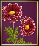 Purple and White Chrysanthemums Poster by Elise Ferguson