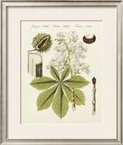 Horse Chestnut Print by  Bertuch