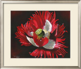 Red Poppy After Rain Poster by Sue Warner