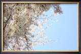Japanese Cherry Blossom, Sakura III Art by Ryuji Adachi