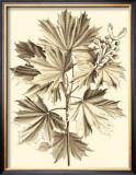 Sepia Munting Foliage V Prints by Abraham Munting
