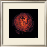 Ranunculus no. 44 Posters by Neil Seth Levine