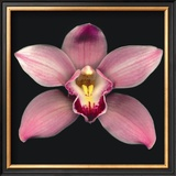 Cymbidium Prints by Harold Feinstein