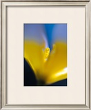 Tulipe III Prints by Marc Ayrault
