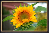 Sunflower Framed Giclee Print by Antonia Illsley