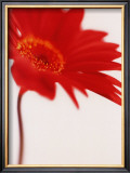 Gerbera, Bright Red on White (detail) Art by Michael Banks