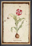 Tulipa Aureicoloris Print by Lisa Canney Chesaux
