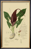 Aroid Plant IV Prints by A. Descubes