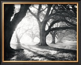 Oak Alley, Light and Shadows Posters by William Guion