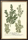 Leaves II Poster by Johann Wilhelm Weinmann