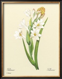 White Tuberose Framed Giclee Print by Pierre-Joseph Redouté