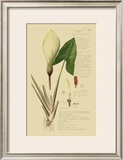 Aroid Plant III Poster by A. Descubes
