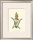 Antique Hyacinth IX Print by Christoph Jacob Trew