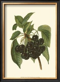 Black Cherries Poster by John Wright