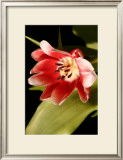 Red Tulip II Posters by Renee Stramel