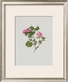 Alpine Rose Print by Moritz Michael Daffinger