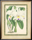 Fitch Orchid III Posters by J. Nugent Fitch