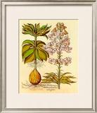Lilium Montanum I Prints