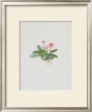 Ordinary Stipeless Primrose Prints by Moritz Michael Daffinger