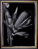Corn Prints by Augusto Camino