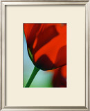 Tulipe IV Prints by Marc Ayrault