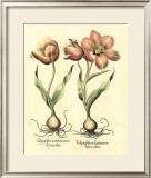 Bulb Garden III Prints by Besler Basilius